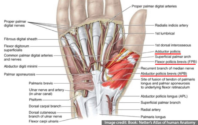 Thenar muscles- Surgical Anatomy of Hand (Opposition of Thumb)