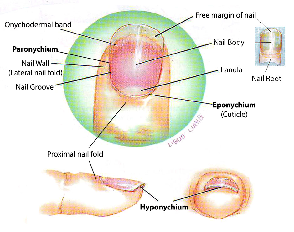Nail anatomy the plastic reconstructive surgery burns blog india nail surface anatomy ccuart Images