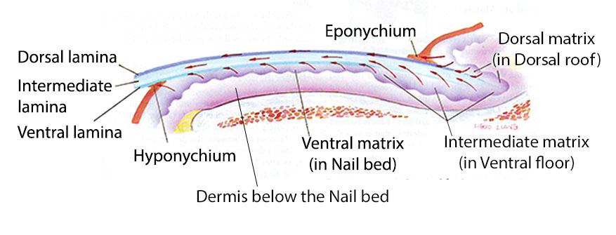 Dorsal, intermediate, ventral lamina