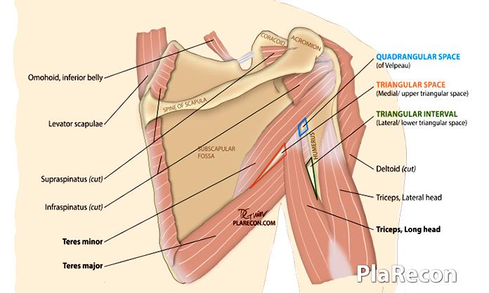 Parascapular spaces- PlaRecon Plastic Surgery